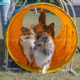 shelties2 400